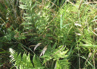 Athyrium filix-femina Lady-fern