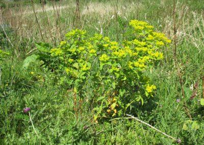 Euphorbia oblongata Balkan Spurge