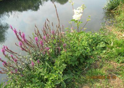Lythrum salicaria Purple