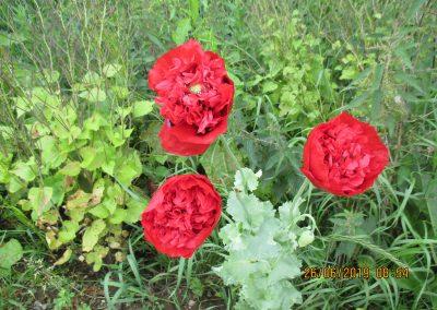Papaver somniferum Double Opium Poppies
