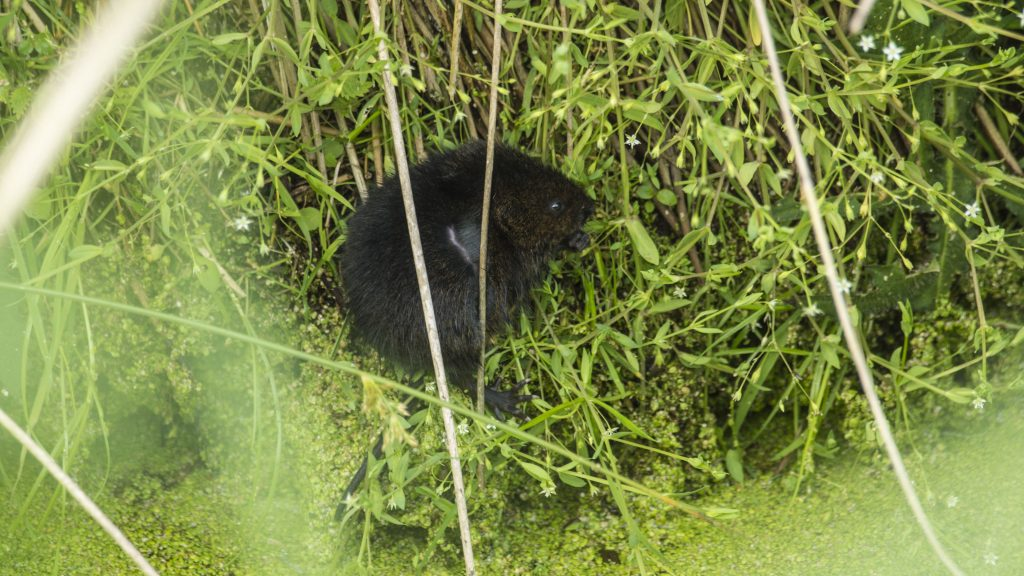 Water Vole in The Backsoke, East Bank, Ebridge Reach 2018. Photo by Alex Martel